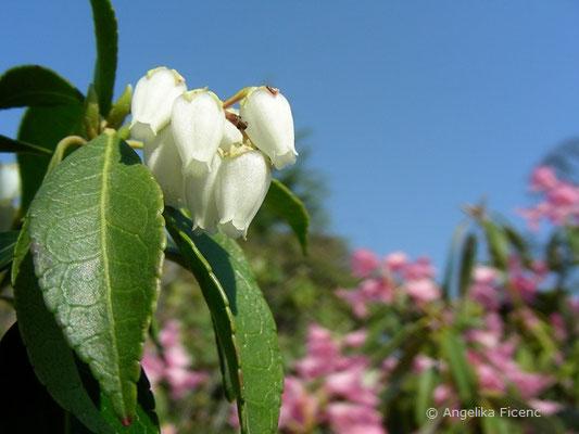 Pieris japonica - Lavendlheide  © Mag. Angelika Ficenc