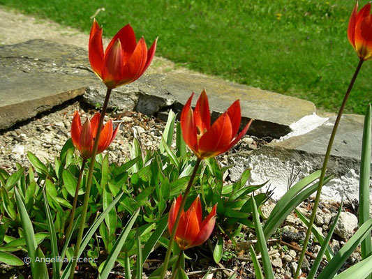 Tulipa hageri  © Mag. Angelika Ficenc