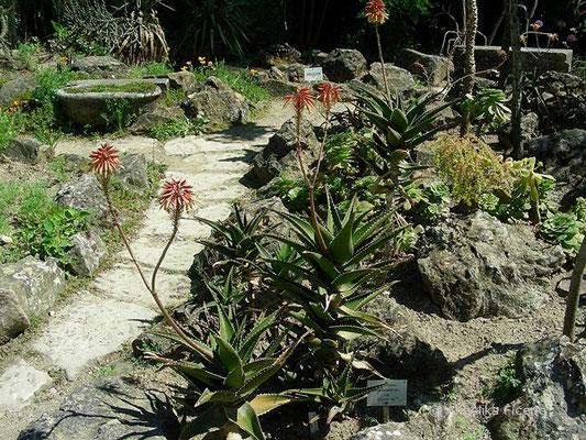 Aloe brownii -  Aloe  © Mag. Angelika Ficenc