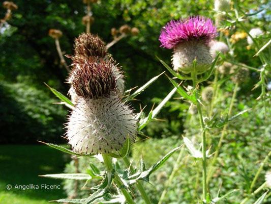 Cirsium eriophorum - Wollkopf Kratzdistel, Samenstand  © Mag. Angelika Ficenc