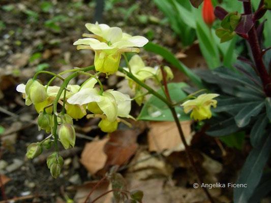 Epimedium versicolor sulphureum - Elfenblume