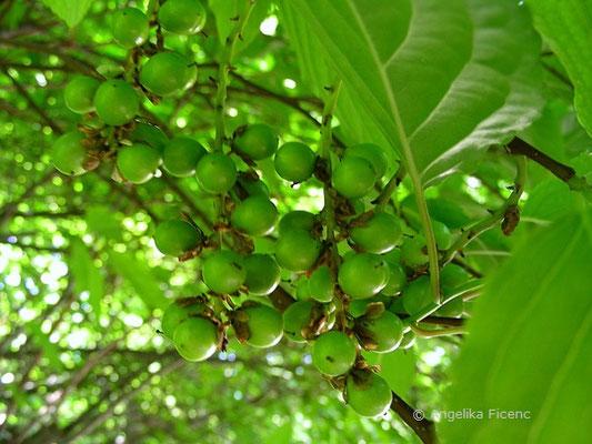 Stachyurus praecox - Schweifähre, unreife Früchte