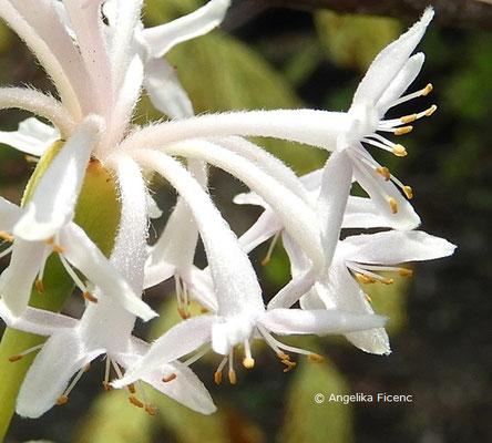 Dais cotinifolia  © Mag. Angelika Ficenc