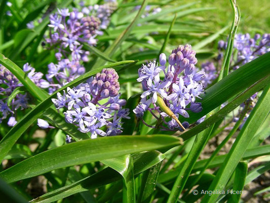 Chouardia litadierei (Scilla scilloides) - Wiesen Amethyststern    © Mag. Angelika Ficenc