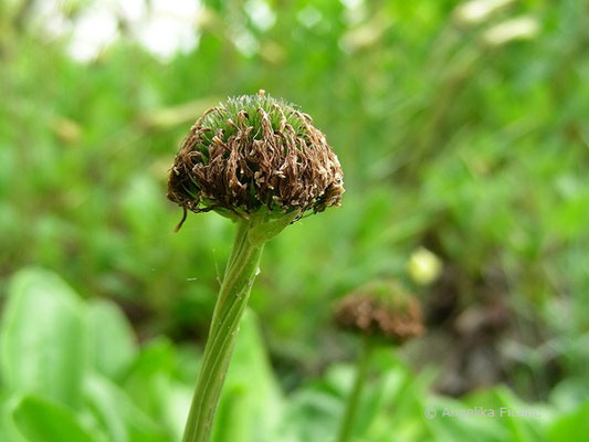 Globularia nudicaulis - Nacktstiel Kugelblume, Blütenstand abgeblüht