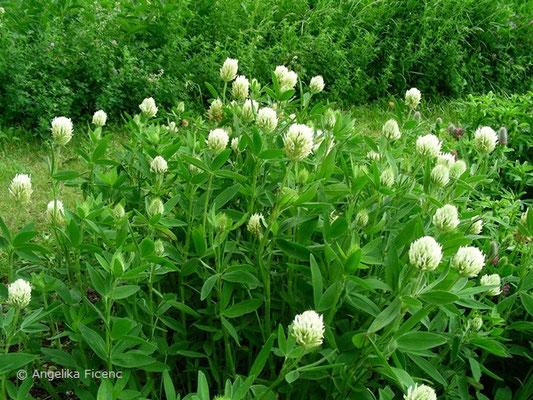 Trifolium pannonicum - Pannonischer Klee