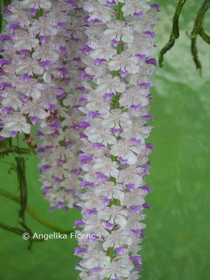 Rhynchostylis retusa  © Mag. Angelika Ficenc