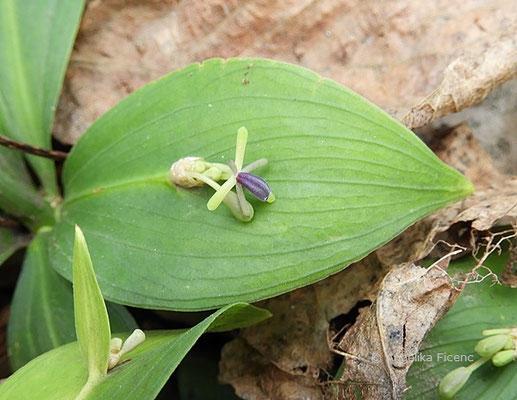 Ruscus hypophyllum - Mäusedorn  © Mag. Angelika Ficenc