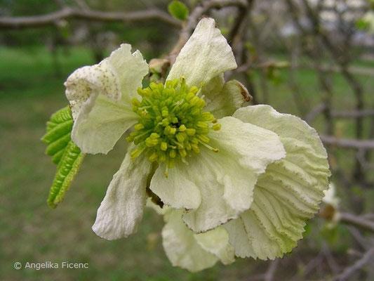 Parrotiopsis jacquemontiana - Scheinparrotie  © Mag. Angelika Ficenc