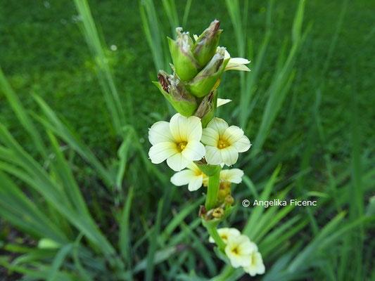 Sisyrinchium striatum, Blütenstand  © Mag. Angelika Ficenc