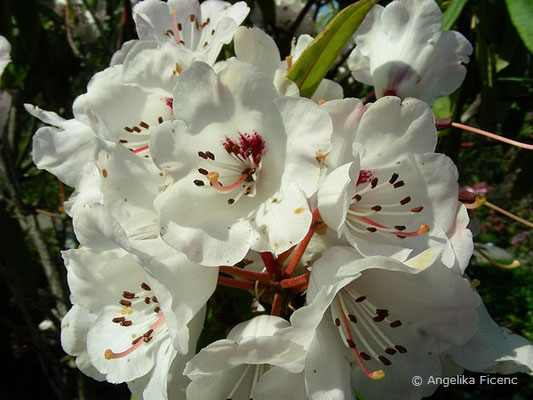 Rhododendron ramsdenianum
