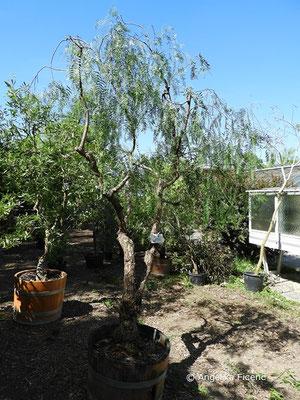 Schinus molle - Gewöhnlicher Pfefferbaum, Habitus