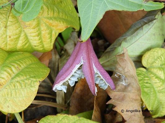 Passiflora capsularis - Geöffnete Frucht mit Samen
