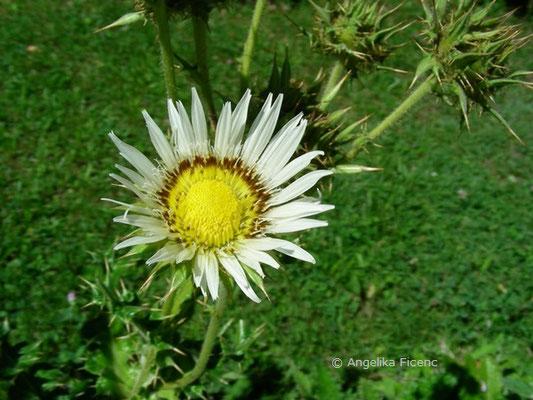 Berkheya cisiifolia, Blüte