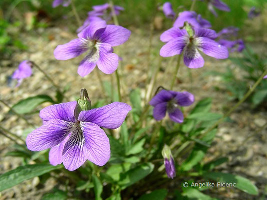 Viola pedatifida - Prärieveilchen  © Mag. Angelika Ficenc