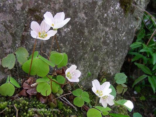 Oxalis acetosella - Wald Sauerklee, Habitus