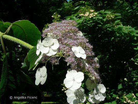 Hydrangea aspera - Raue Hortensie,