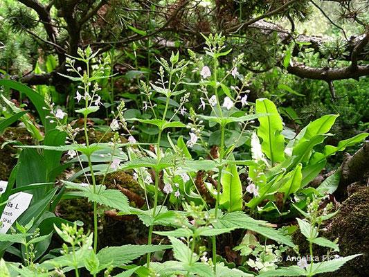 Veronica urticifolia  - Nessel-Ehrenpreis, Habitus  © Mag. Angelika Ficenc