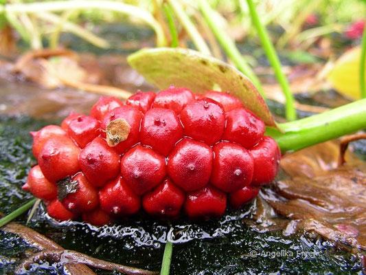 Calla palustris - Drachenwurz, reife Frucht