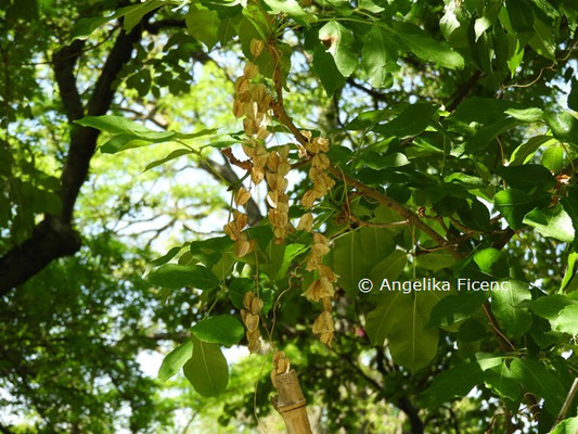 Fraxinus americana  © Mag. Angelika Ficenc