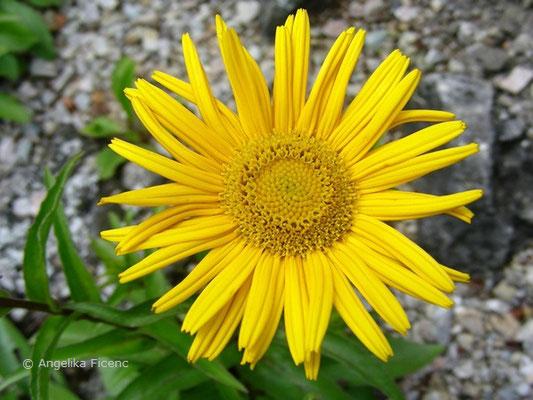 Buphtalum salicifolium - Ochsenauge, Blüte in Aufsicht