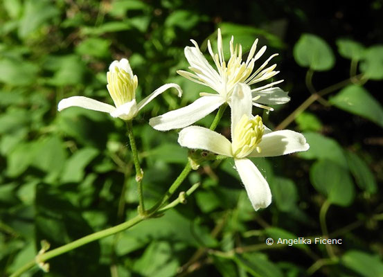 Clematis recta, Aufrechte waldrebe, Blütenstand © Mag. Angelika Ficenc