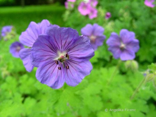 Geranium magnificum - Pracht Storchschnabel, Blüten