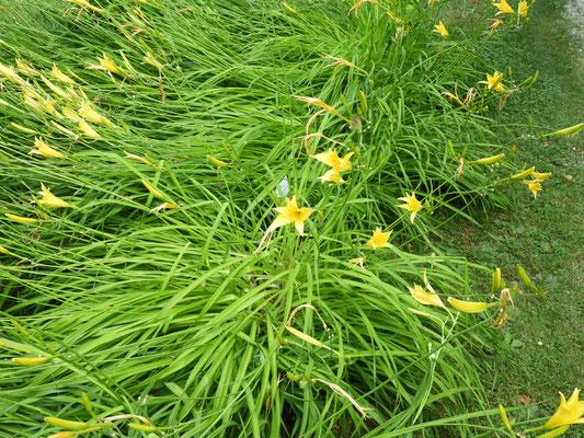 Hemerocallis thunbergii   © Mag. Angelika Ficenc