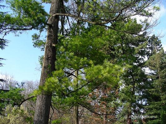 Pinus strobus - Weymouths Kiefer, Habitus