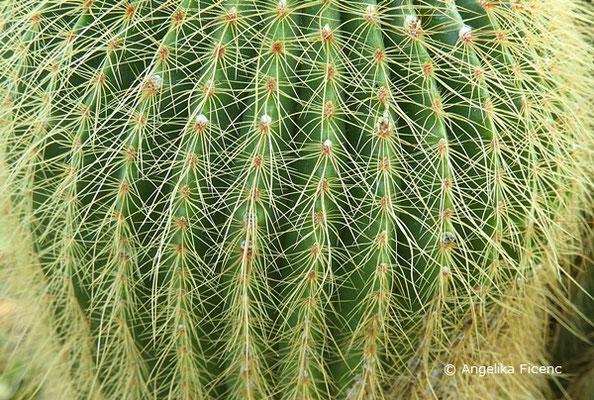 Notocactus warasii, Bedornung