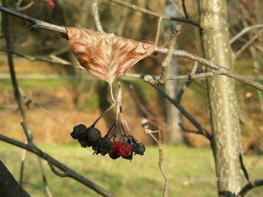 Sorbus danubialis - Donau Mehlbeere  © Mag. Angelika Ficenc