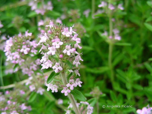 Thymus pannonicus - Steppen Thymian