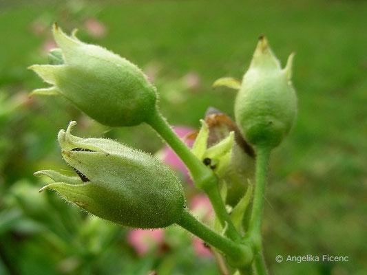 Nikotiana tabacum, unreife Früchte