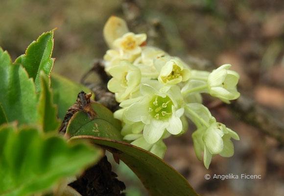 Ribes laurifolium  © Mag. Angelika Ficenc