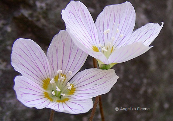 Oxalis acetosella - Wald Sauerklee, Blüten