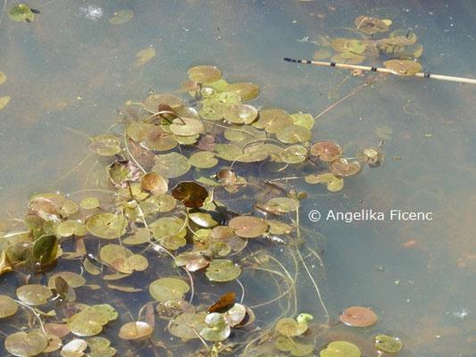 Hydrocharis morsus-ranae  © Mag. Angelika Ficenc