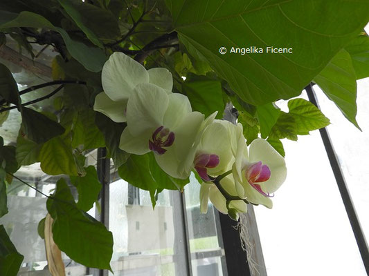 Phelenopsis Hybride   © Mag. Angelika Ficenc