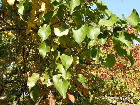 Pyrus pyrifolia var. culta - Naschi-Birne, Laubblätter