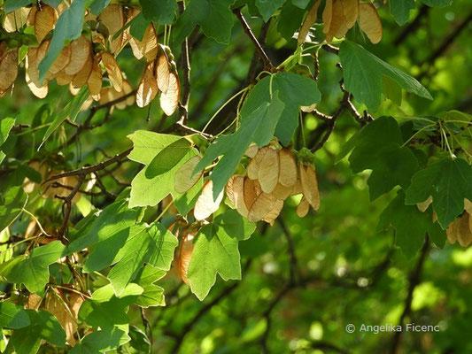 Acer opulus ssp. obtusatum cf. - Bosnischer Ahorn, reife Früchte      © Mag. Angelika Ficenc