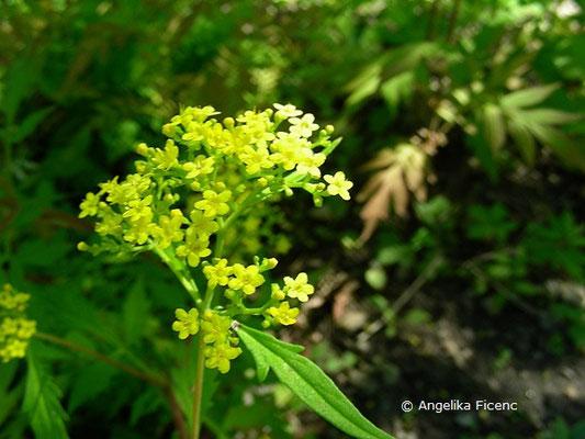 Patrinia heterophylla - Goldbaldrian