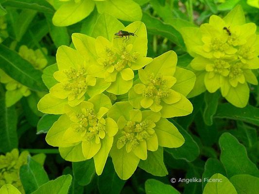 Euphorbia polychroma - Vielfarben-Wolfsmilch
