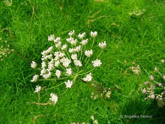 Athamanta thurbit subsp. haynaldii  © Mag. Angelika Ficenc