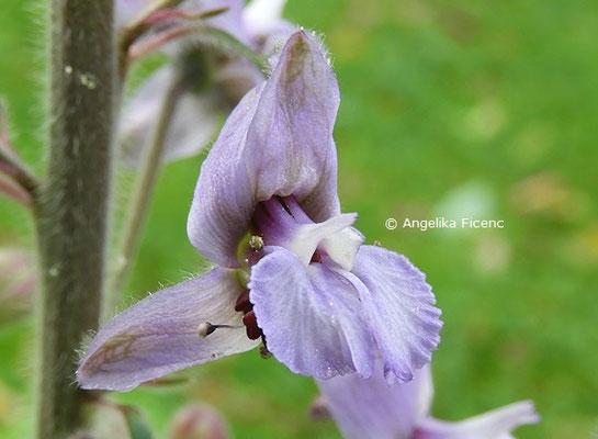 Delphinium requienii  © Mag. Angelika Ficenc