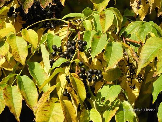 Phellodendron amurense x japonicum - Korkbaum, Früchte