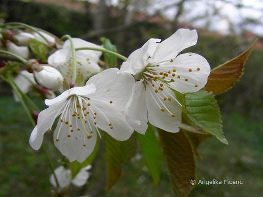 Prunus avium - Vogelkirsche