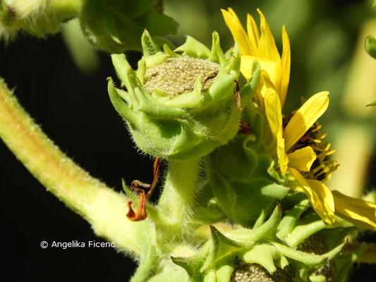 Silphium laciniatum © Mag. Angelika Ficenc