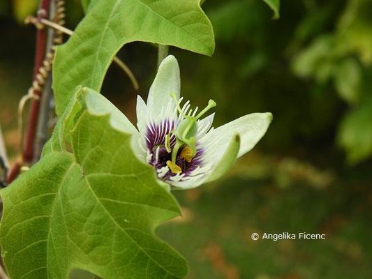 Passiflora morifolia  © Mag. Angelika Ficenc