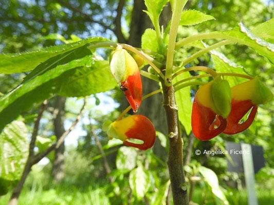 Impatiens niamniamensis - Balsamine, Blüten © Mag. Angelika Ficenc