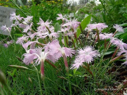 Dianthus plumarius ssp. blandus - Zierliche Federnelke