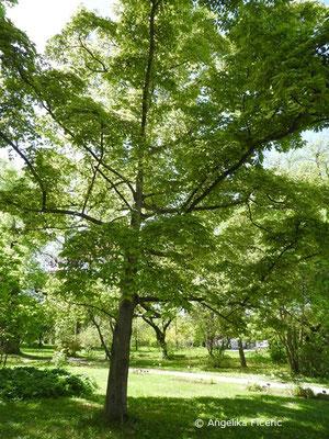 Magnolia x loebneri (M. kobus x M. stellata), Habitus